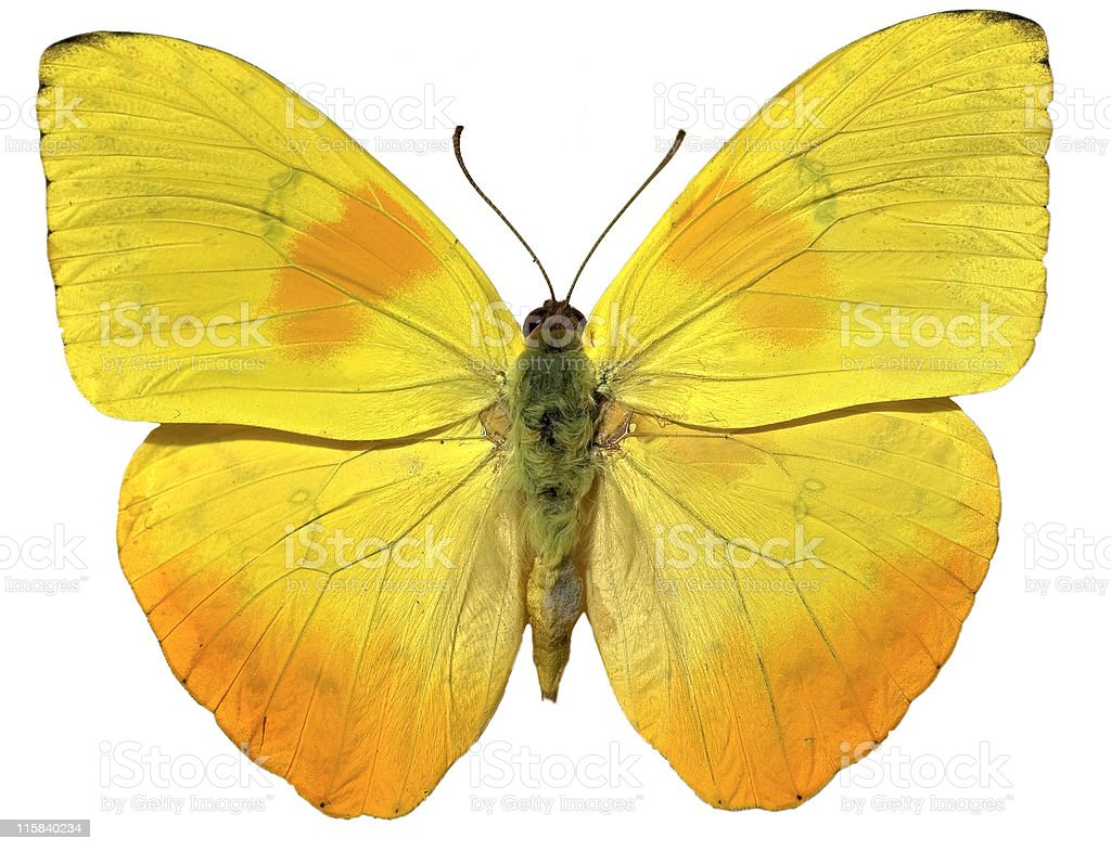 Yellow Butterfly isloated on white royalty-free stock photo