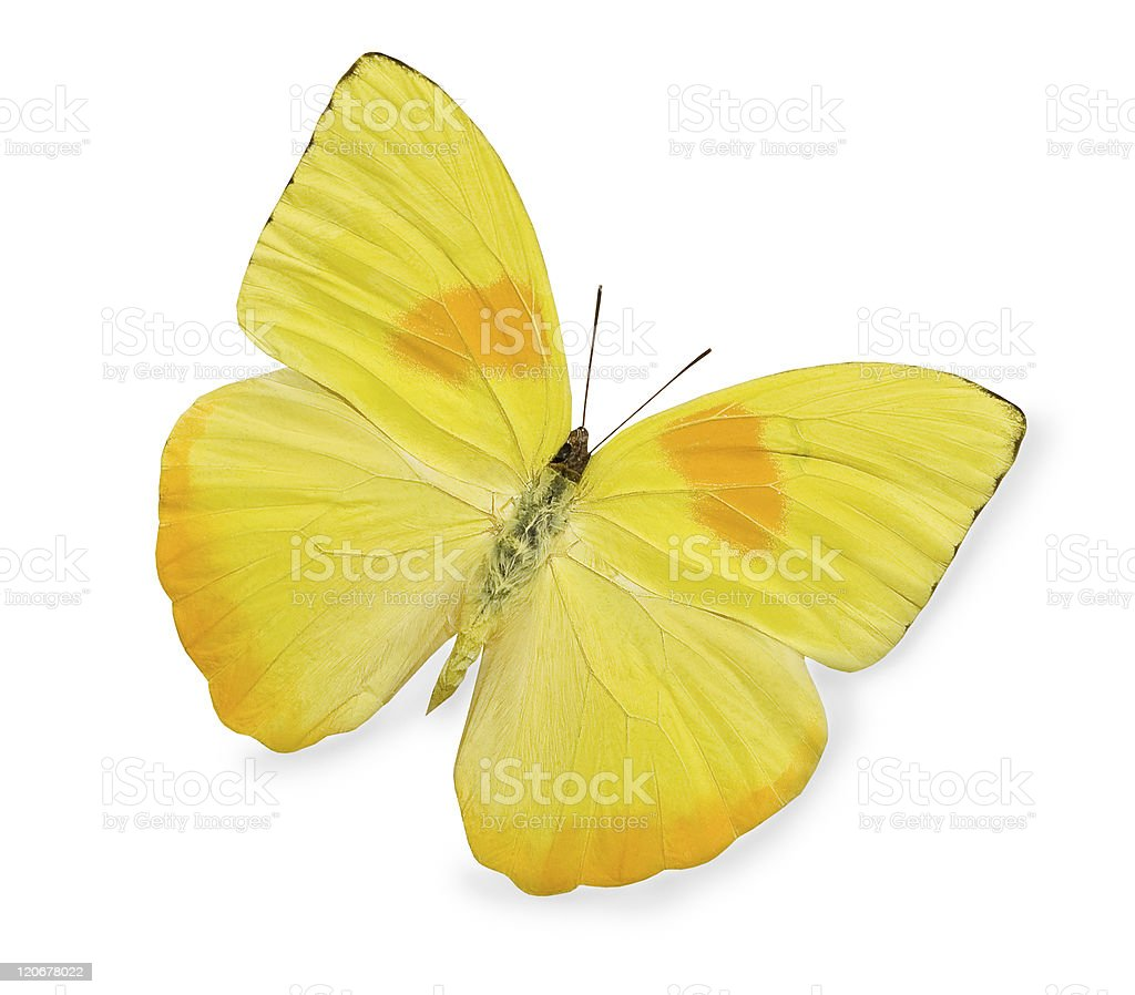 A yellow butterfly isolated on a white background stock photo