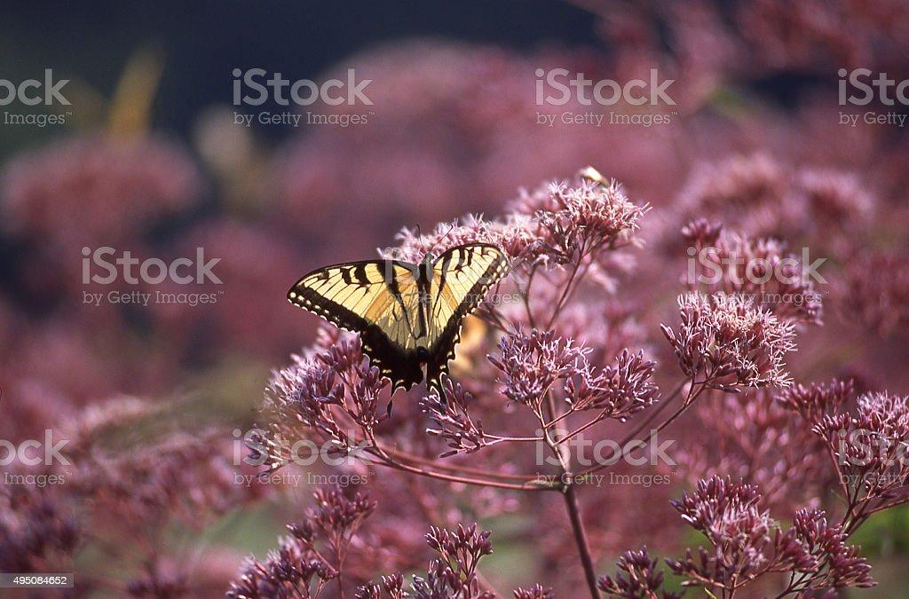 Yellow butterfly landing feeding purple summer wildlfowers Winterthur Delaware stock photo