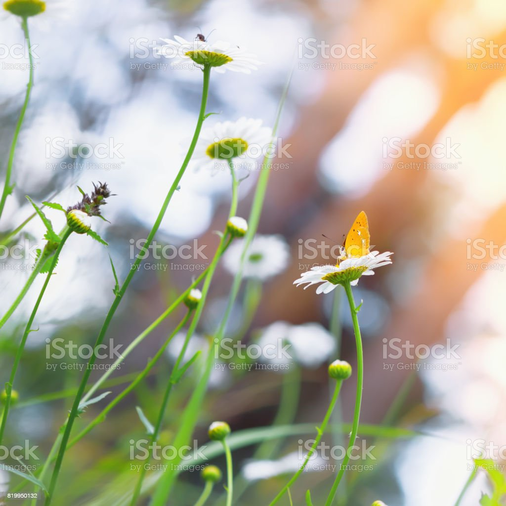Yellow Butterfly On a Daisy stock photo
