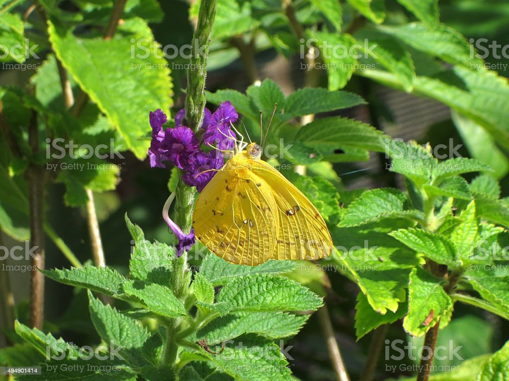 Yellow butterfly on purple flower stock photo