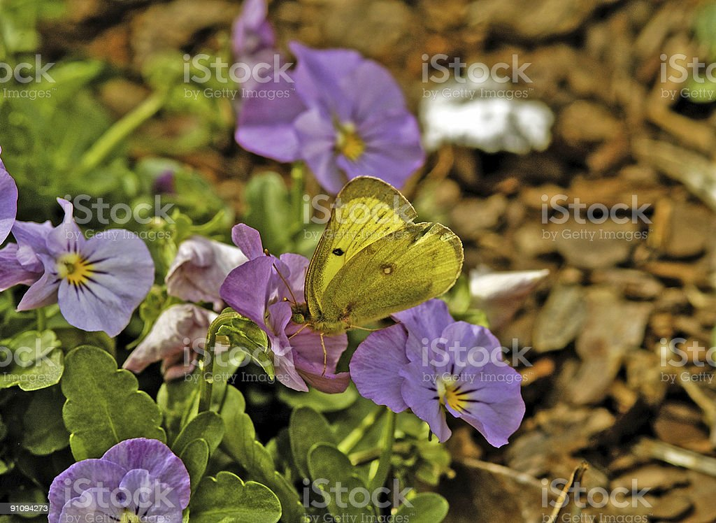 Yellow Butterfly on Purple Pansy royalty-free stock photo