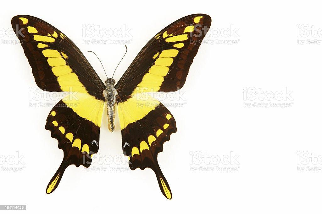 Yellow Butterfly (XXL) stock photo