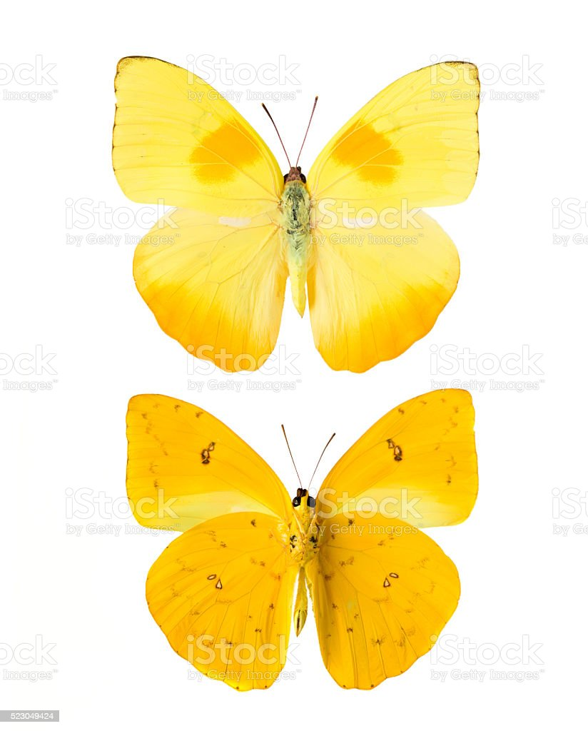 Yellow butterfly stock photo