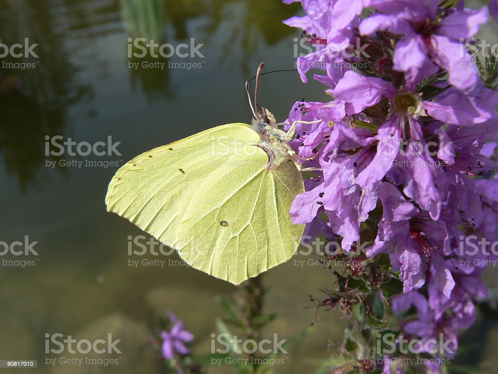 Yellow butterfly royalty-free stock photo