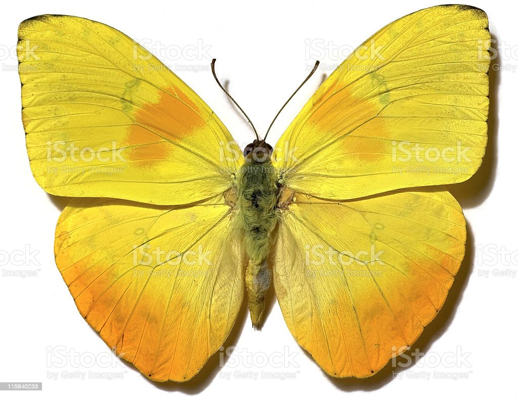Yellow Butterfly with natural shadow stock photo
