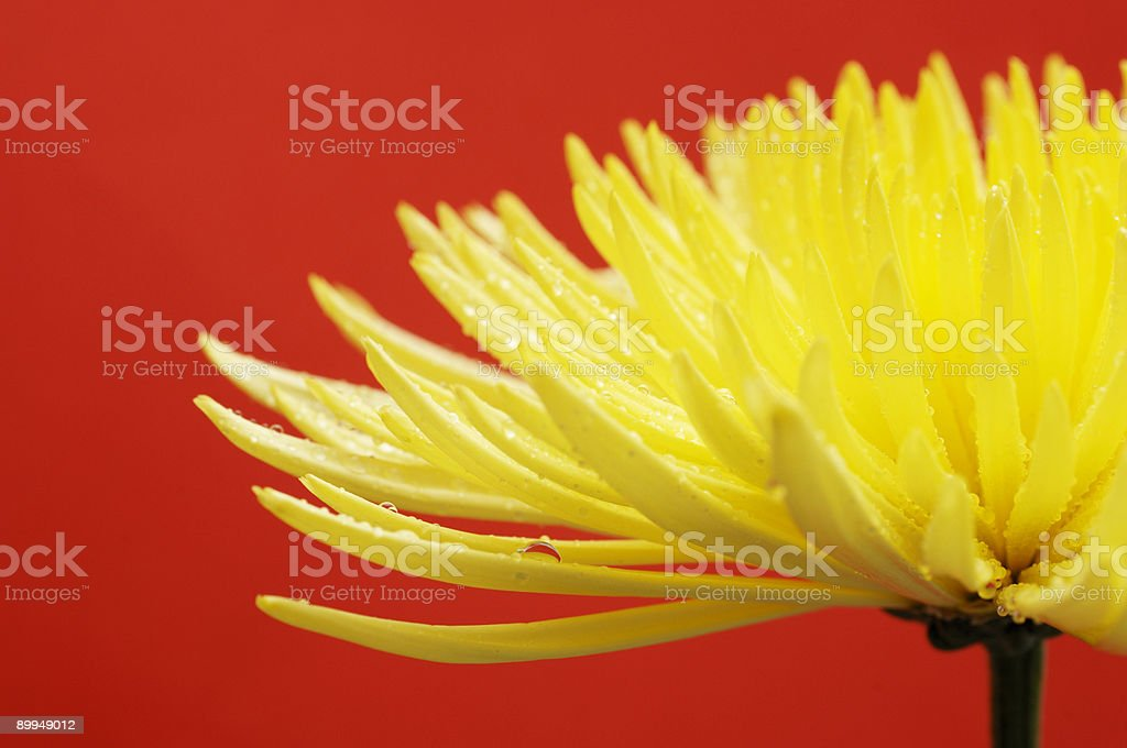 yellow Cactus dahlia flower, or star against vibrant red stock photo