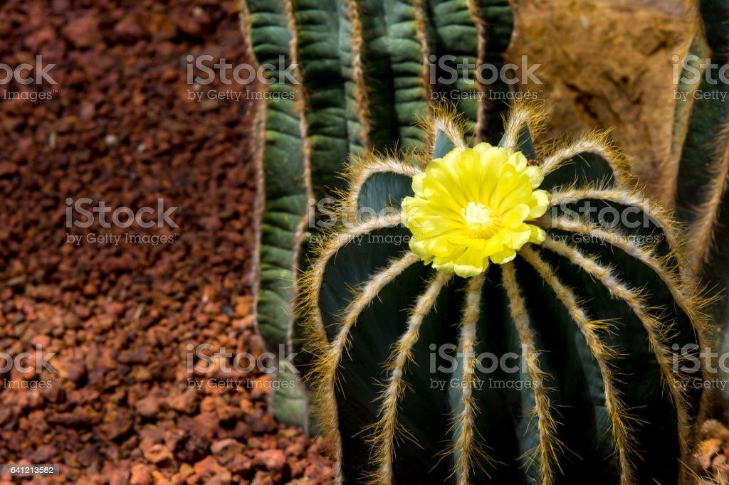 Yellow cactus flower in greenhouse. stock photo