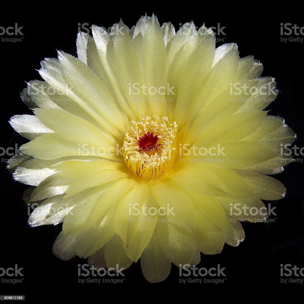 Yellow Cactus flower on pure black. stock photo