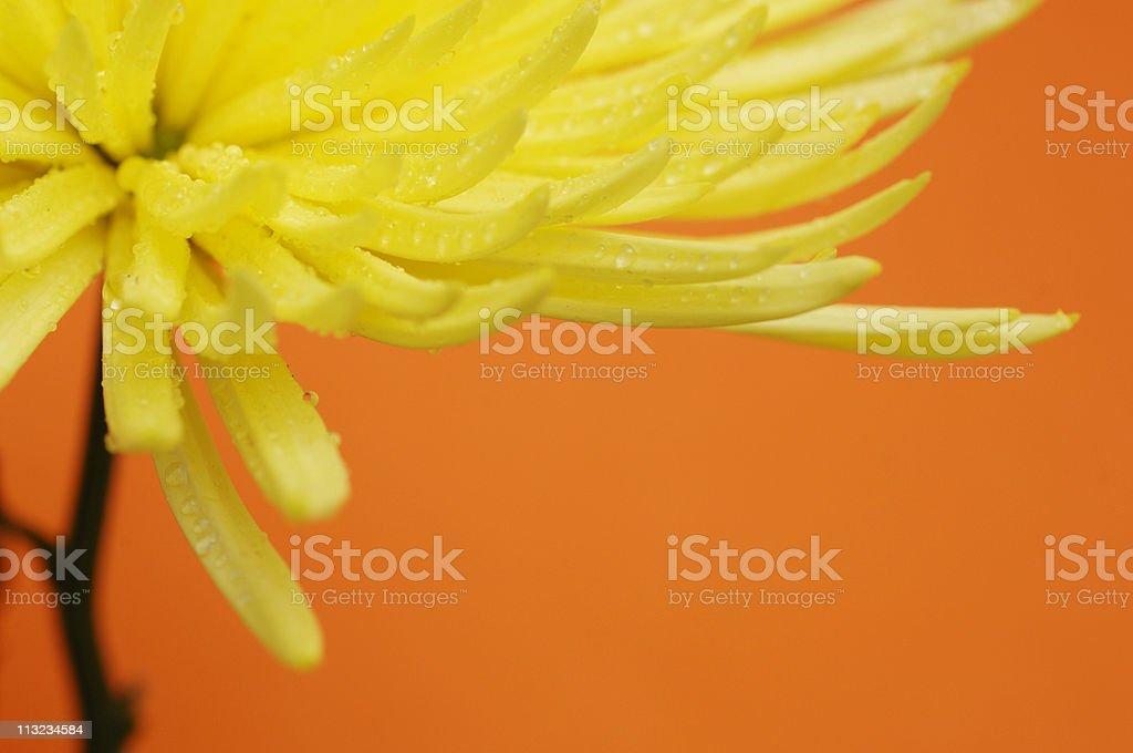 yellow Cactus star dahlia flower stock photo