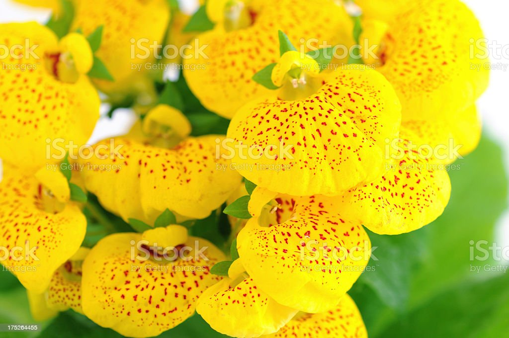 yellow Calceolaria Herbeohybrida on isolated white background stock photo