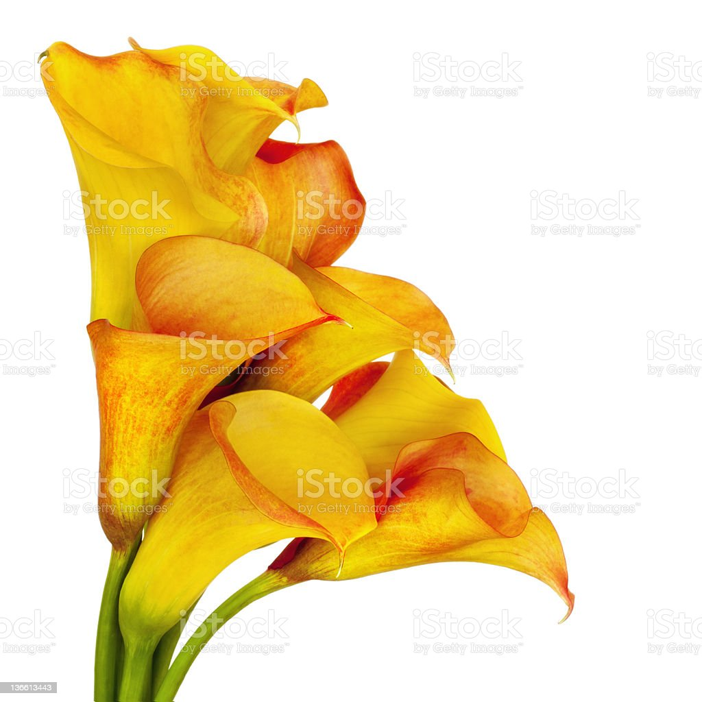 Yellow calla lilies close-up with white background stock photo