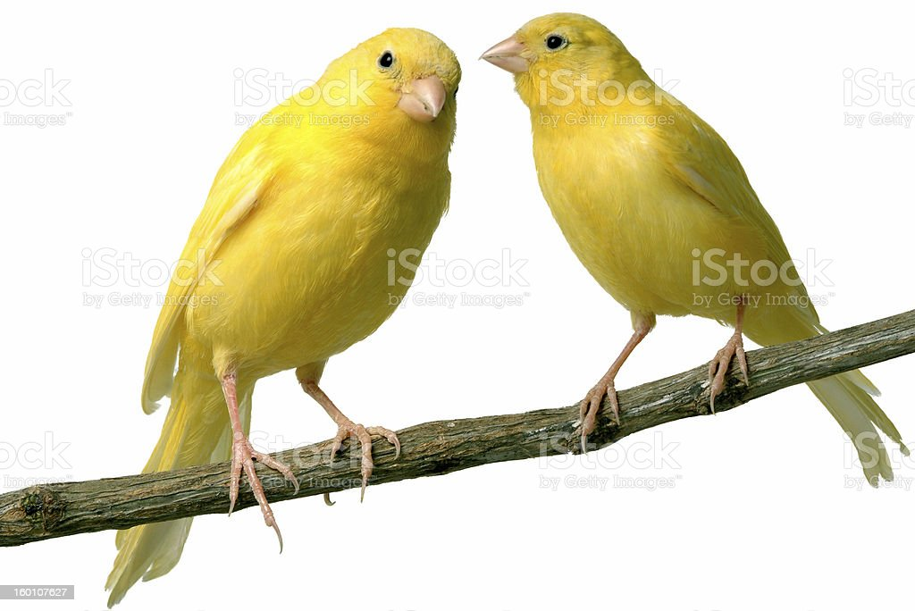 Yellow canaries on a branch on a white background stock photo