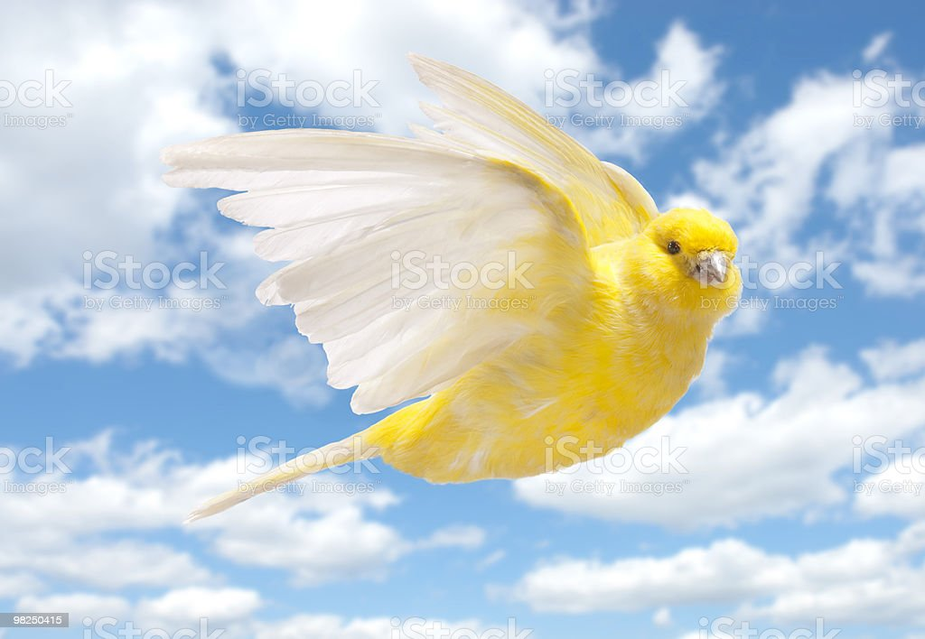 Yellow canary flying in cloudy sky stock photo