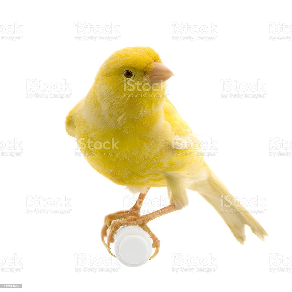 A yellow canary isolated on a perch stock photo