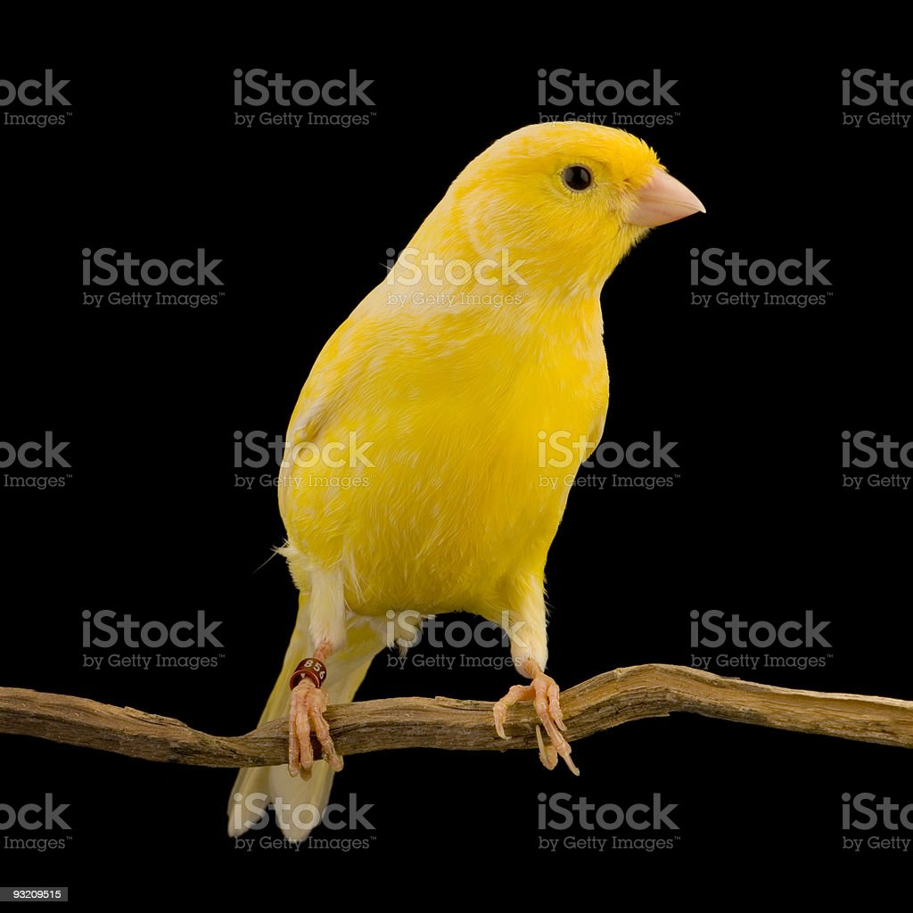 Yellow canary on a wooden perch stock photo