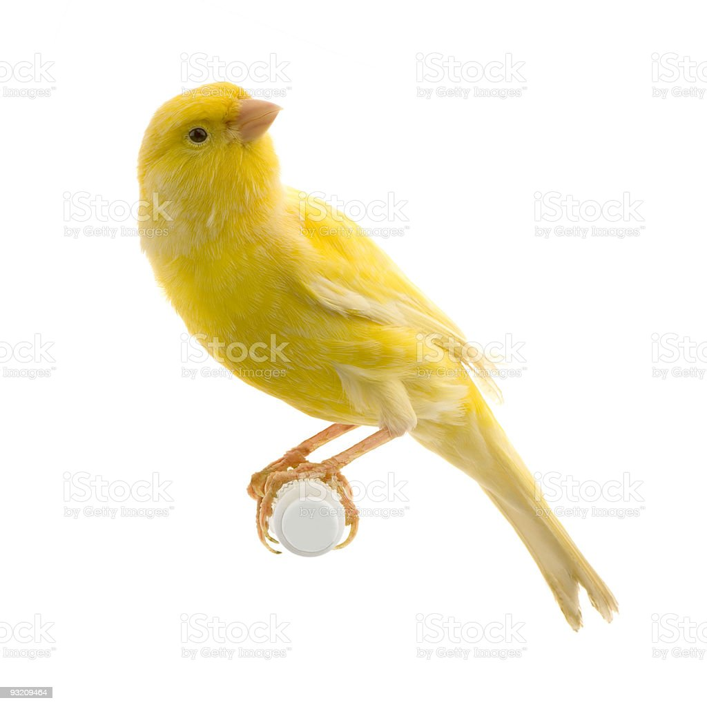 Yellow canary on its perch royalty-free stock photo