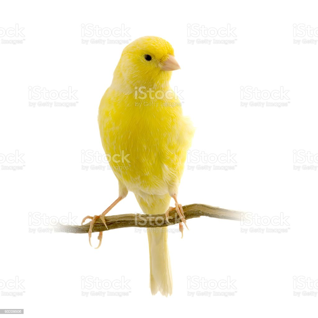 Yellow canary on its perch stock photo