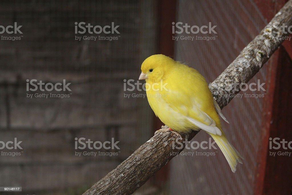 Yellow Canary stock photo
