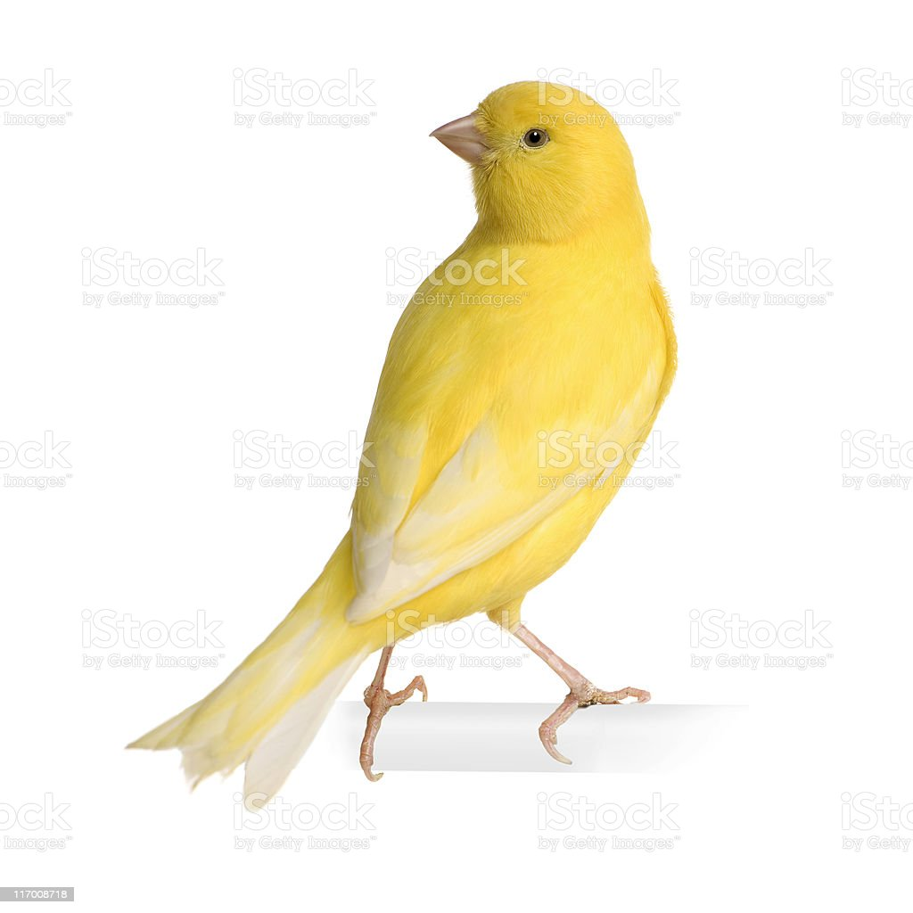 Yellow canary - Serinus canaria on its perch stock photo