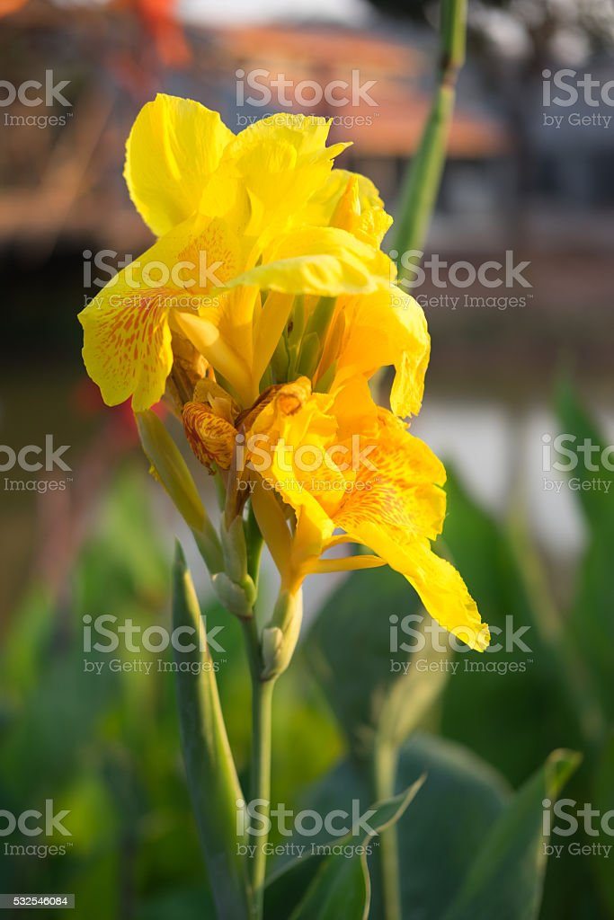 Yellow canna flower in the garden stock photo