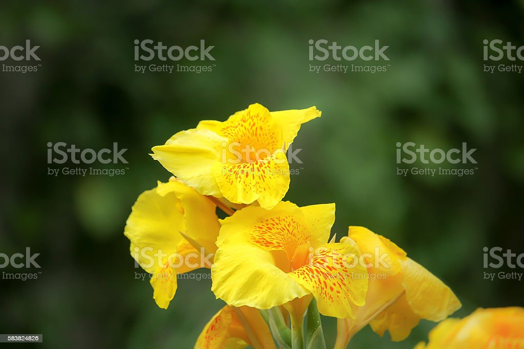 Yellow Canna flower stock photo