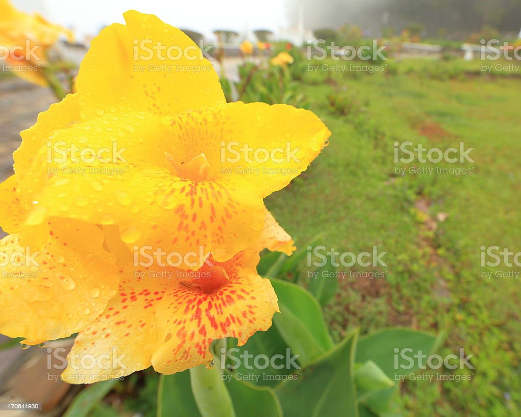 Yellow Canna Indica stock photo