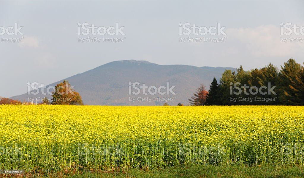 Yellow Canola Blossoms and Whiteface Mountain stock photo