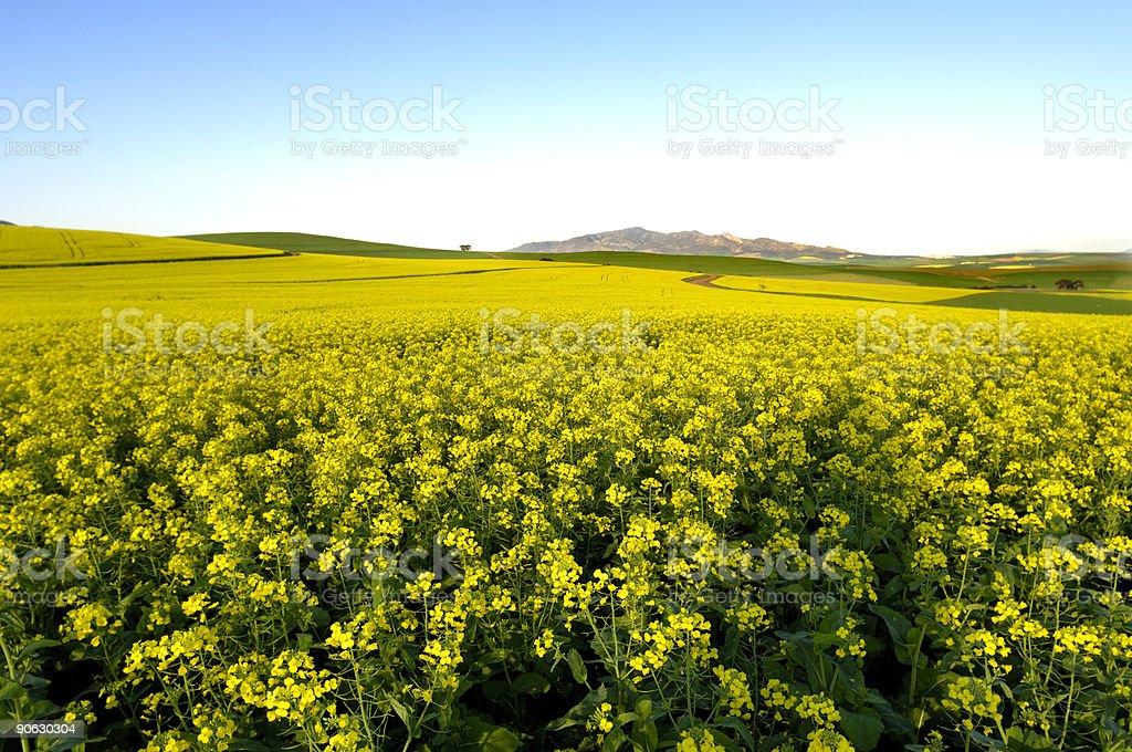 Yellow canola field blue sky and mountains stock photo