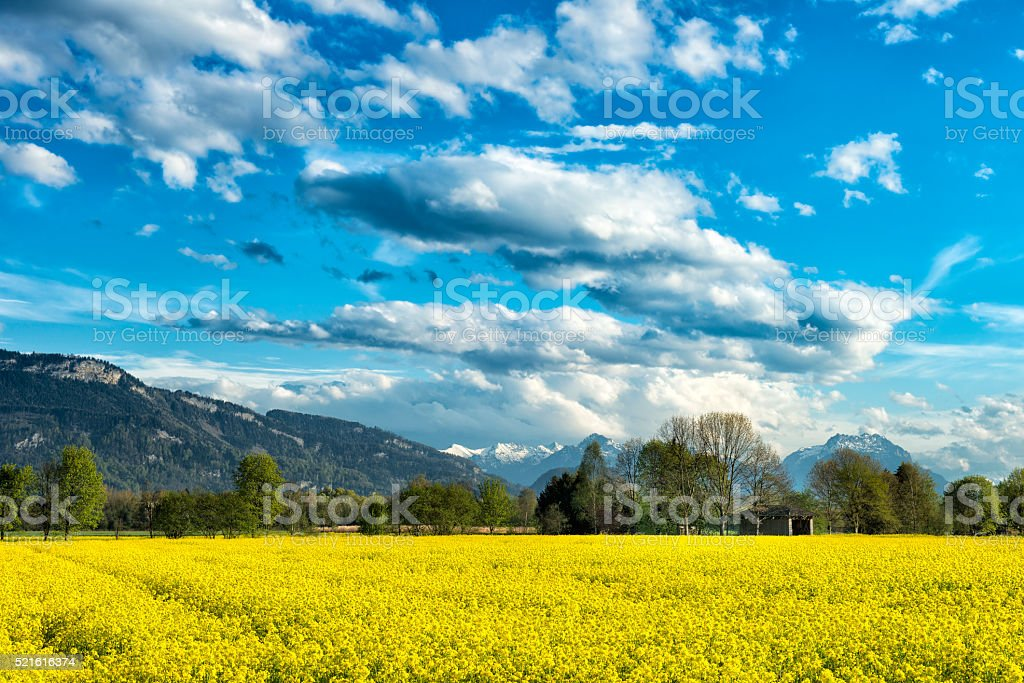 yellow canola field landscape with dramatic sky stock photo