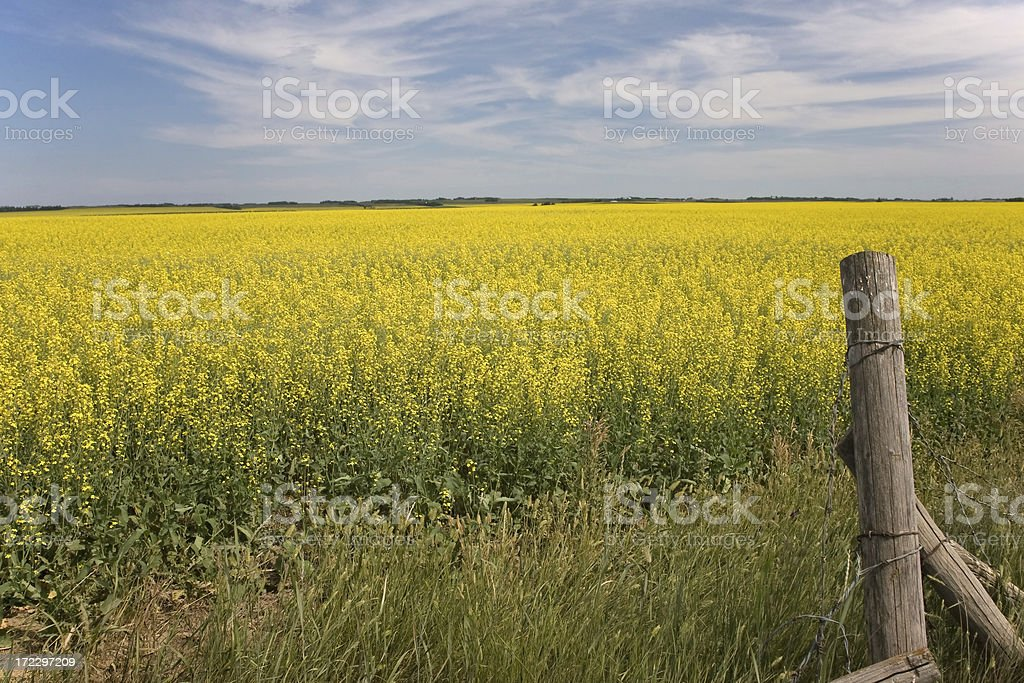 Yellow Canola Field with Old Fence Post royalty-free stock photo
