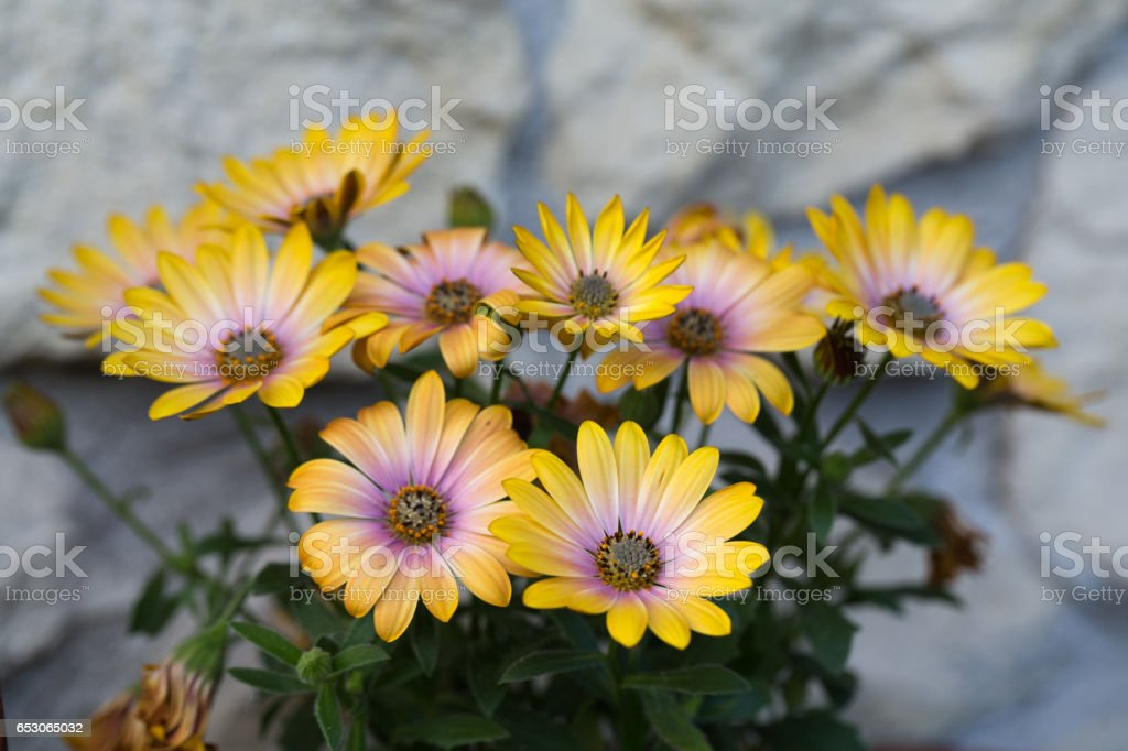 Yellow cape  daisy in garden stock photo