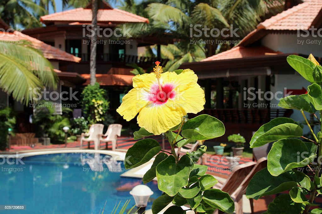 Yellow carcade flower on the tropical view background royalty-free stock photo