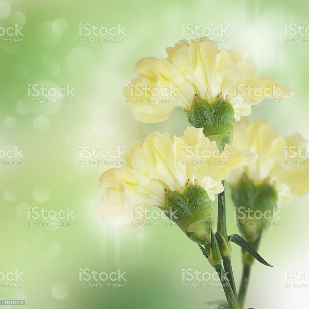Yellow carnation royalty-free stock photo