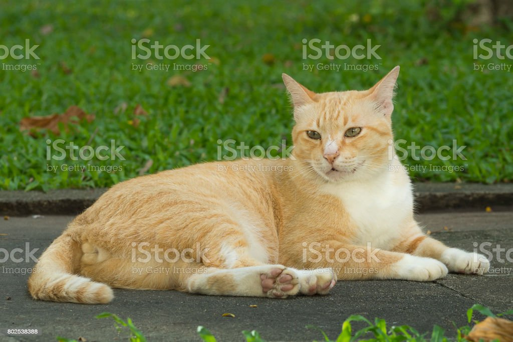 Yellow cat laying on road in the park stock photo
