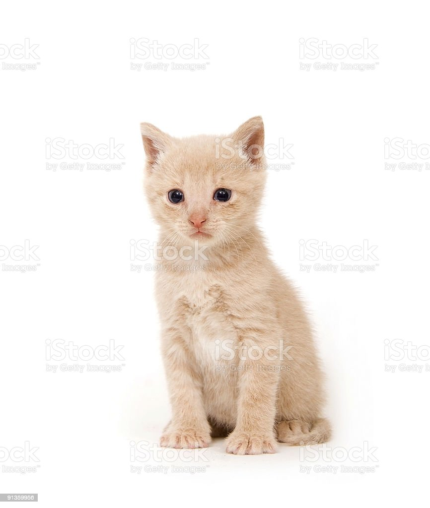 Yellow cat on white background royalty-free stock photo