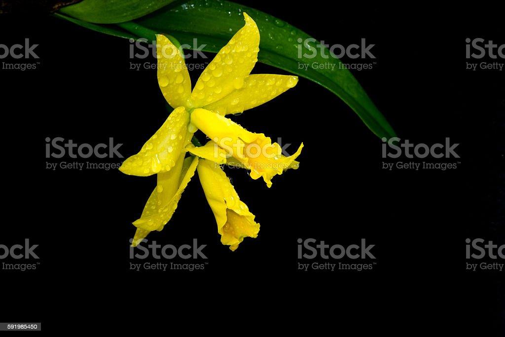 Yellow cattleya orchid stock photo
