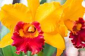 Yellow Cattleya orchid.