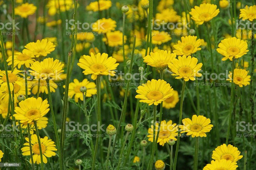 yellow chamomile, a wildflower stock photo