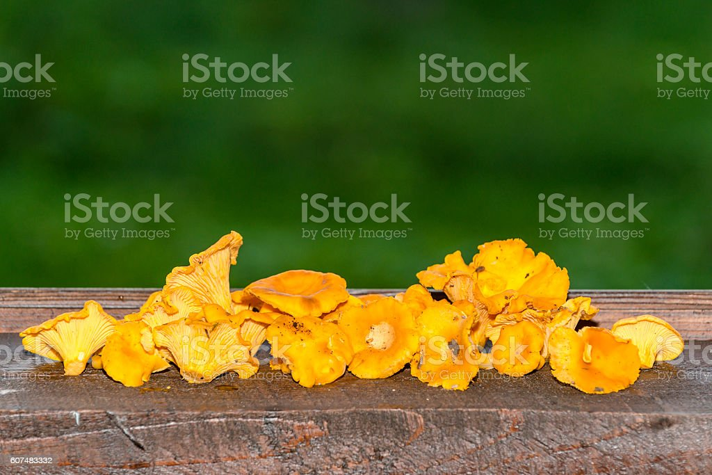 Yellow chanterelles mushrooms on the  wooden background stock photo
