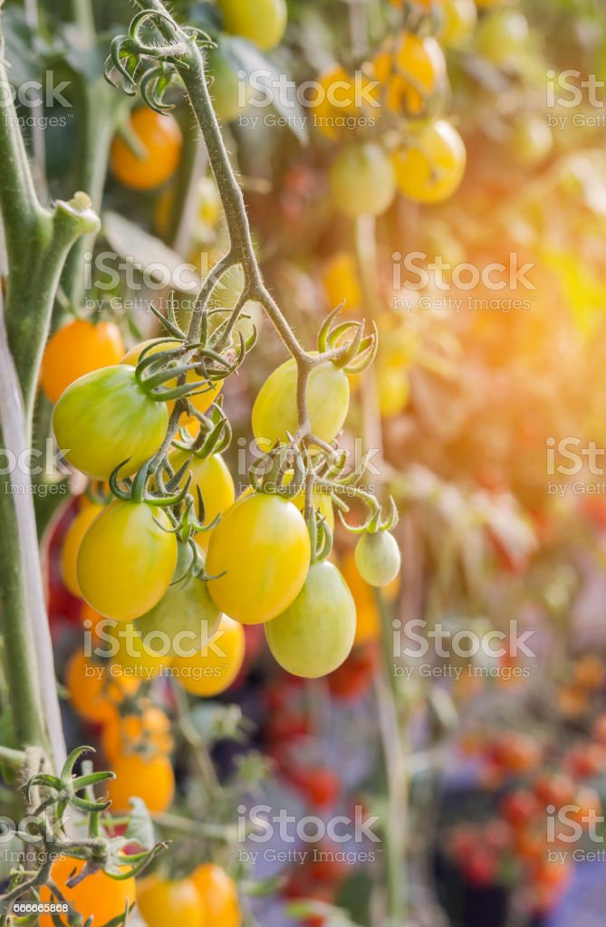 yellow cherry tomatoes hanging on trees royalty-free stock photo