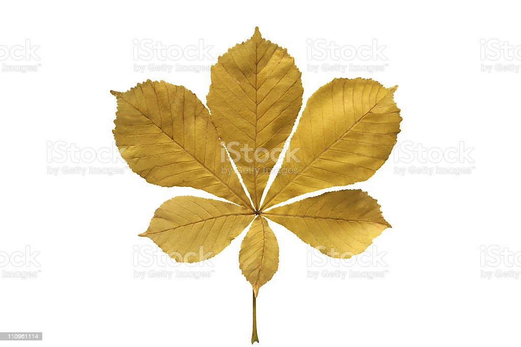 Yellow chestnut leaf. stock photo