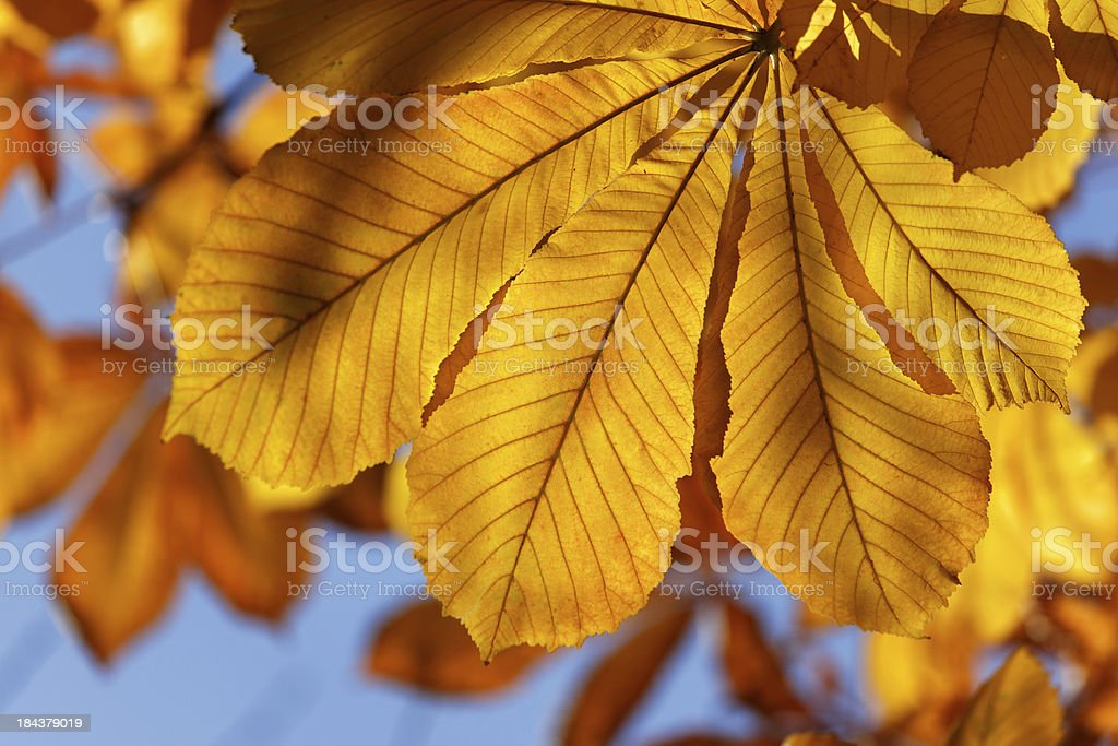 yellow chestnut leaves royalty-free stock photo