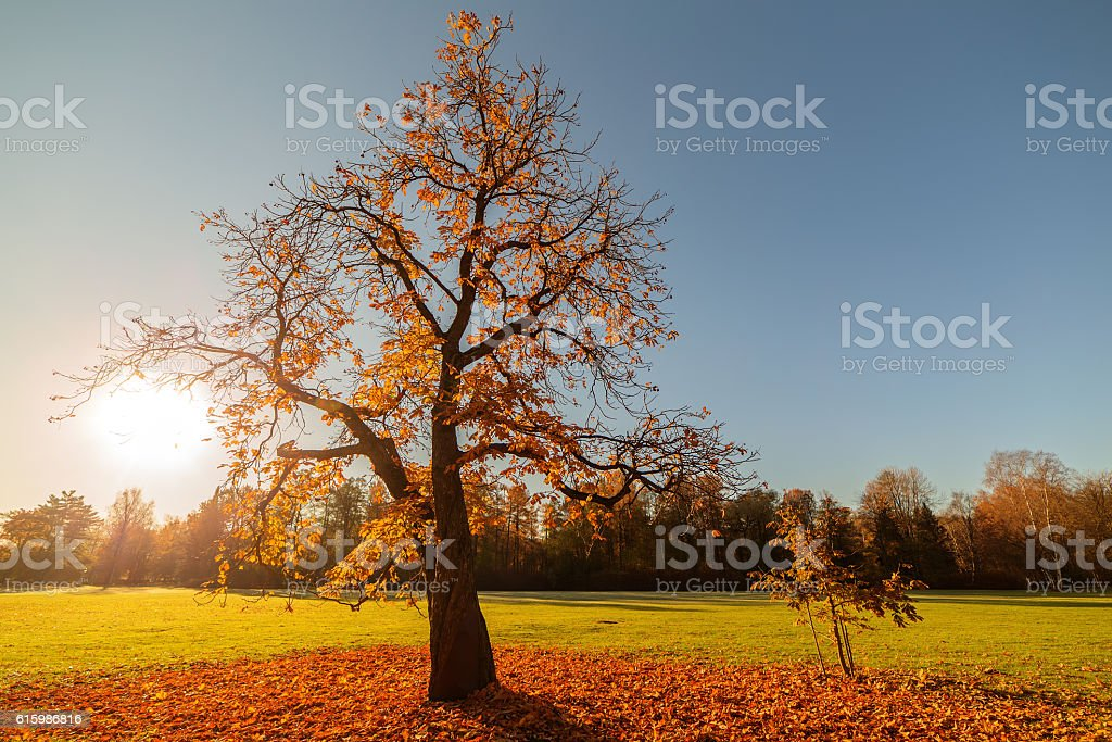yellow chestnut tree stock photo