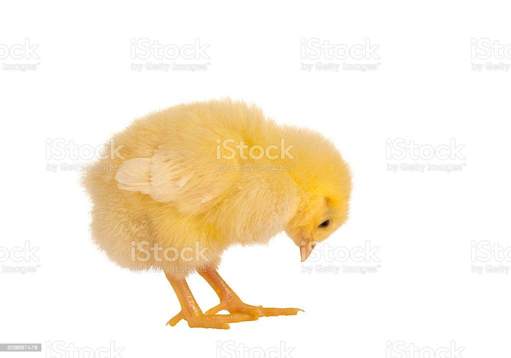 Yellow chick stock photo