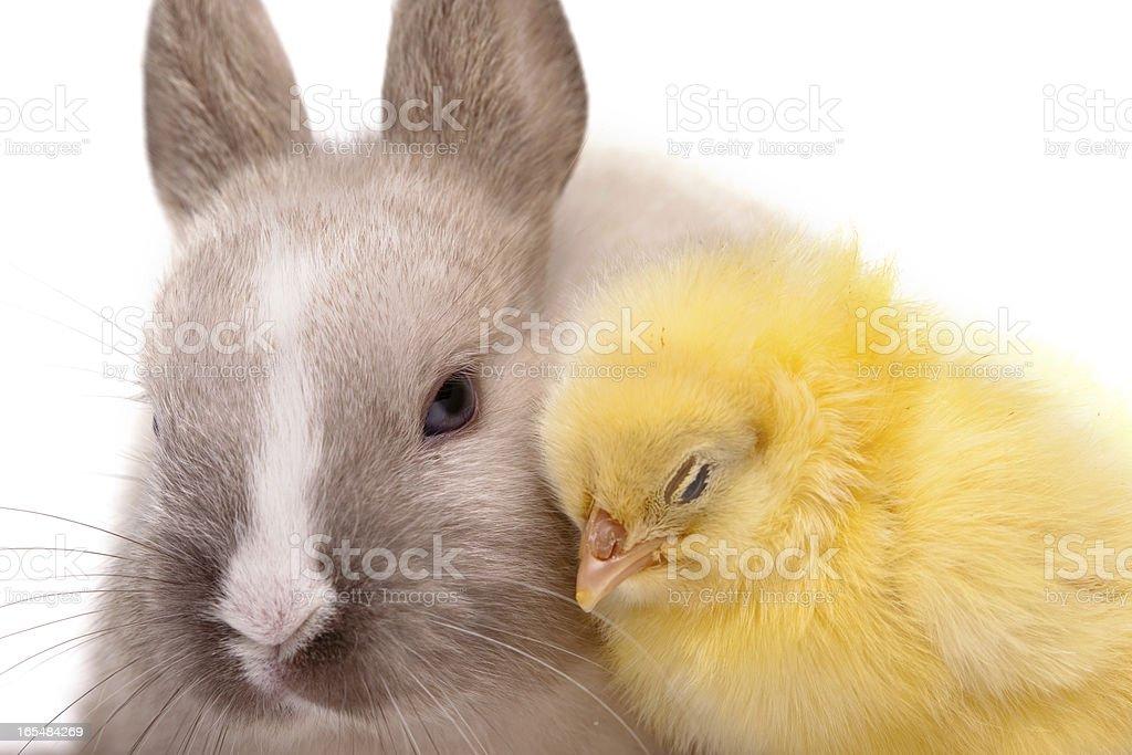 Yellow chicken royalty-free stock photo