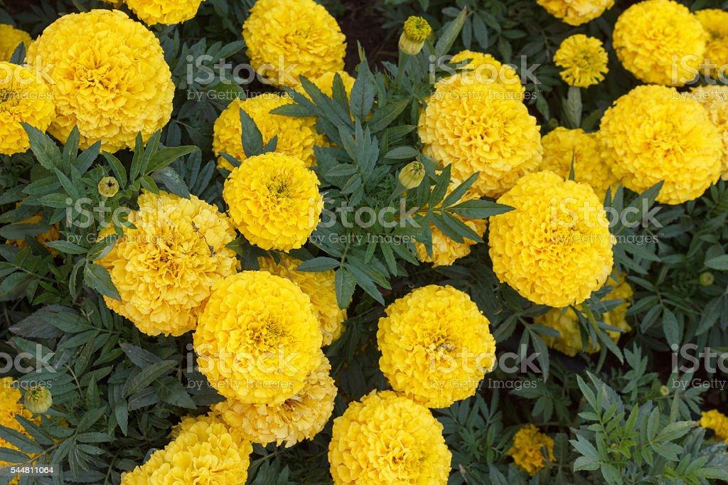 Yellow Chrysanthemum closeup stock photo