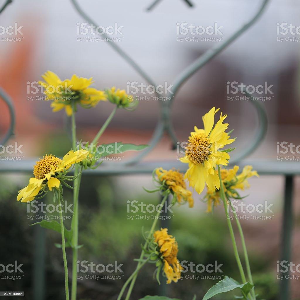 Yellow Chrysanthemum Coronarium Flowers. stock photo