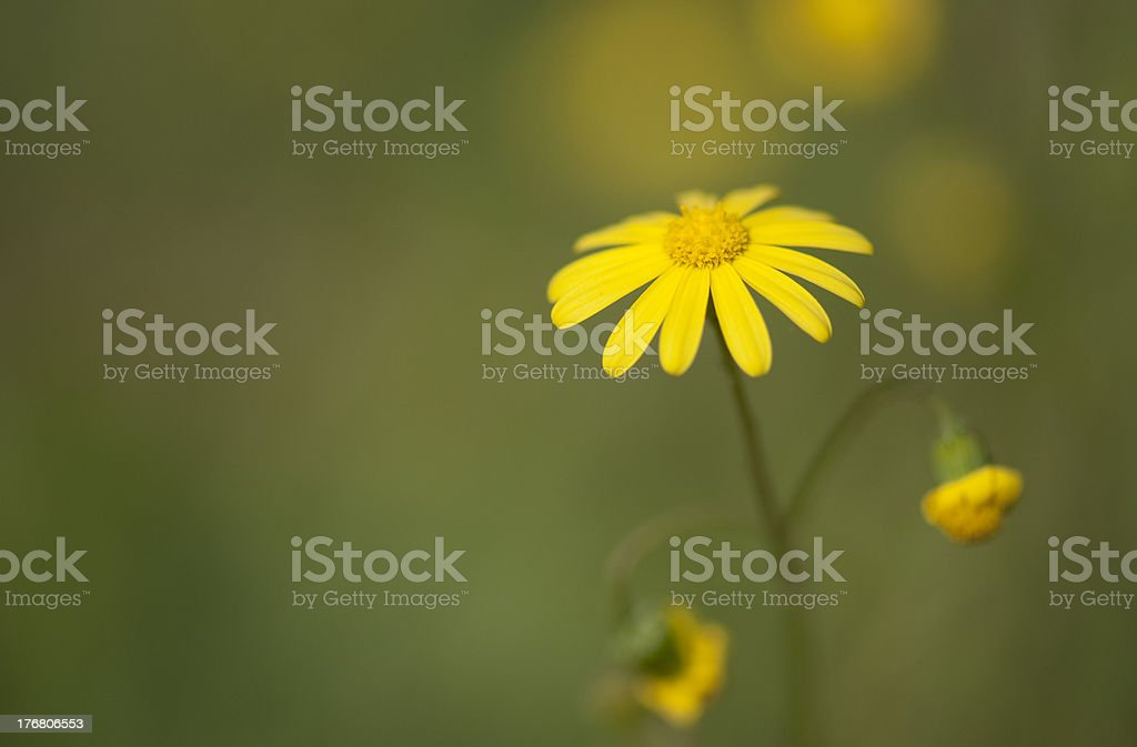 yellow Chrysanthemum coronarium royalty-free stock photo