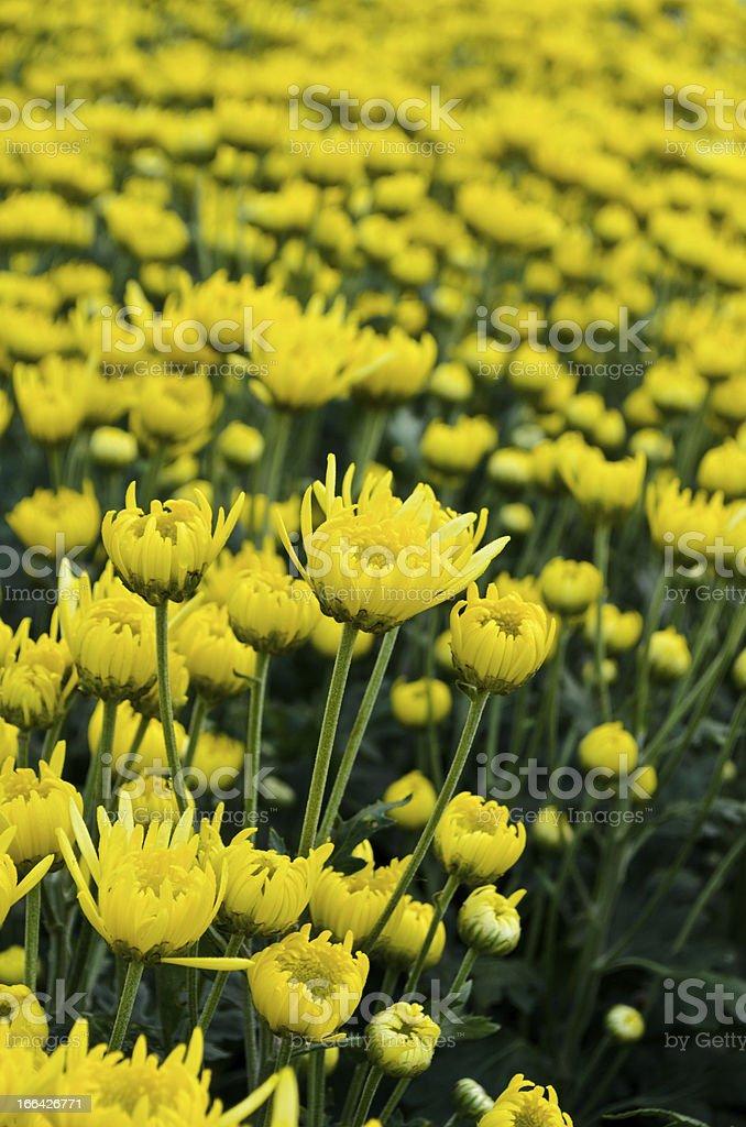 Yellow chrysanthemum farm royalty-free stock photo